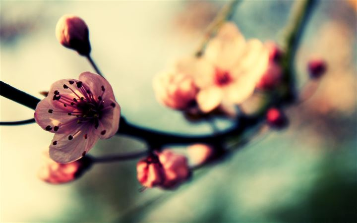 Cherry Blossom In Spring All Mac wallpaper