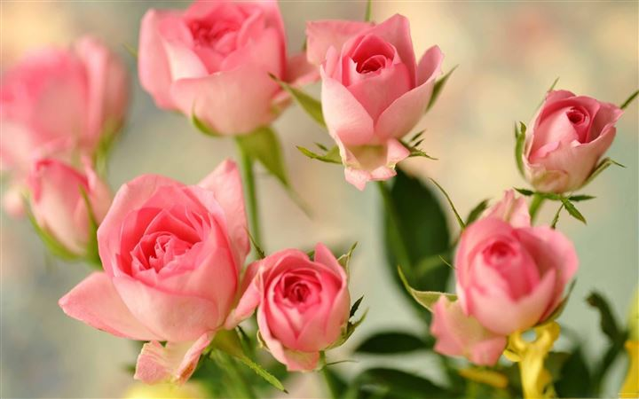 Cute Pink Roses All Mac wallpaper