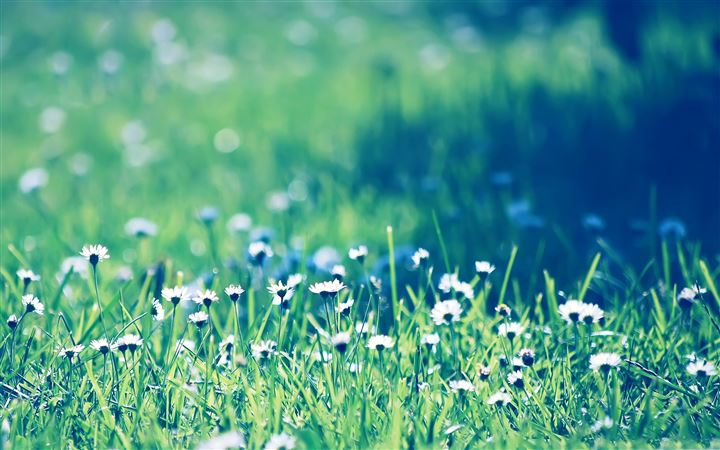 Daisies field All Mac wallpaper