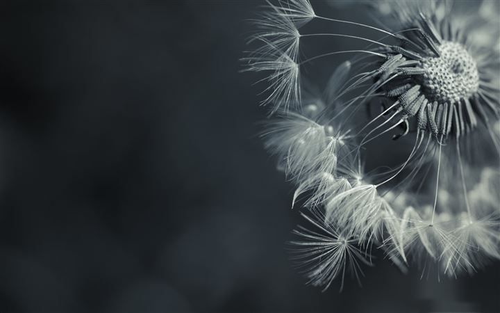 Dandelion All Mac wallpaper