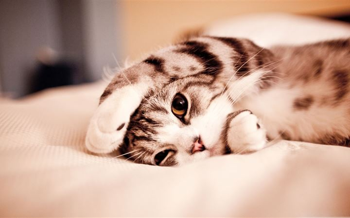 Funny Lazy Cat All Mac wallpaper