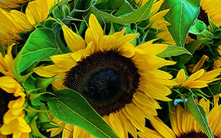 Helianthus annuus All Mac wallpaper