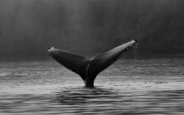 Humpback whale fluke All Mac wallpaper