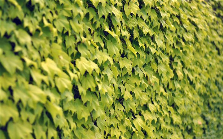 Ivy wall summer All Mac wallpaper