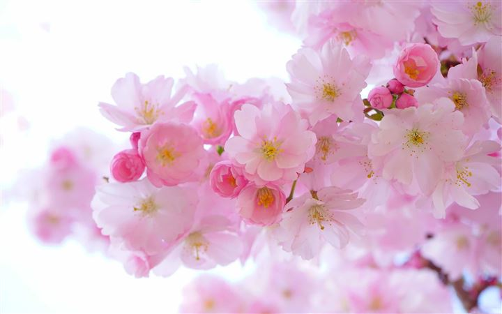 Japanese Cherry Trees All Mac wallpaper