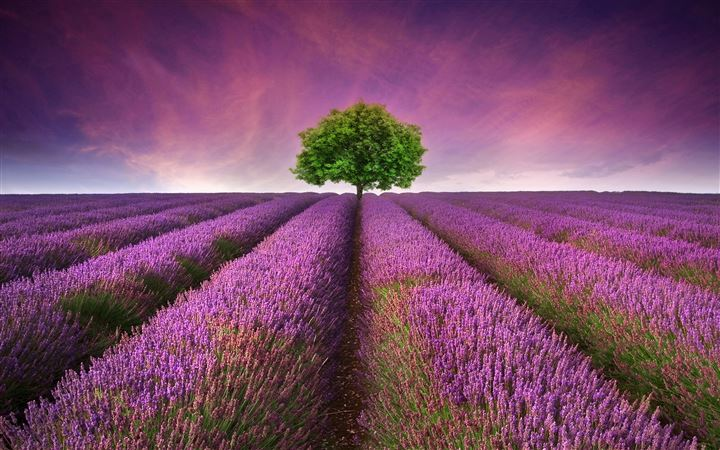 Lavender field All Mac wallpaper