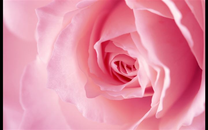Light pink rose macro MacBook Air wallpaper