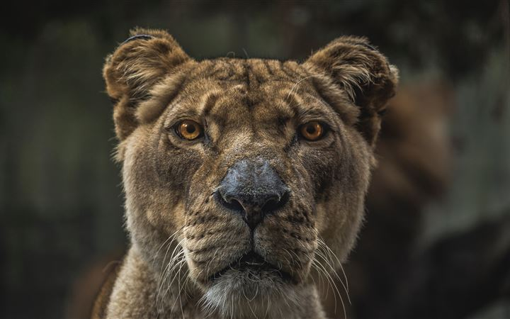 Macro view of lioness All Mac wallpaper