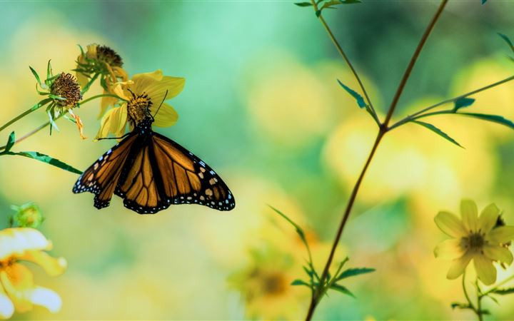 Monarch Butterfly On A Yellow Flower All Mac wallpaper