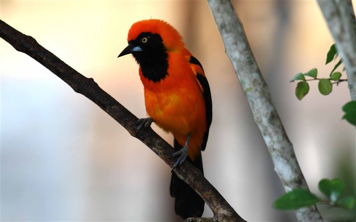 Orange Backed Troupial All Mac wallpaper
