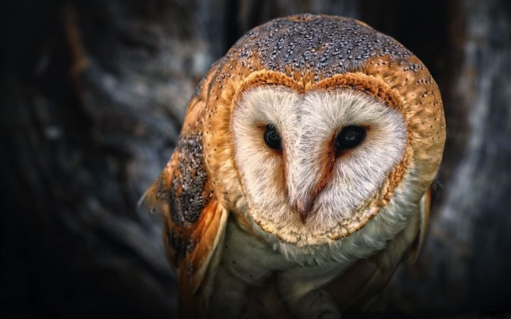Owl Portrait All Mac wallpaper