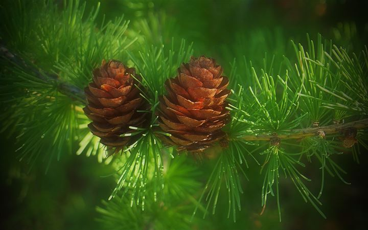 Pine cone All Mac wallpaper