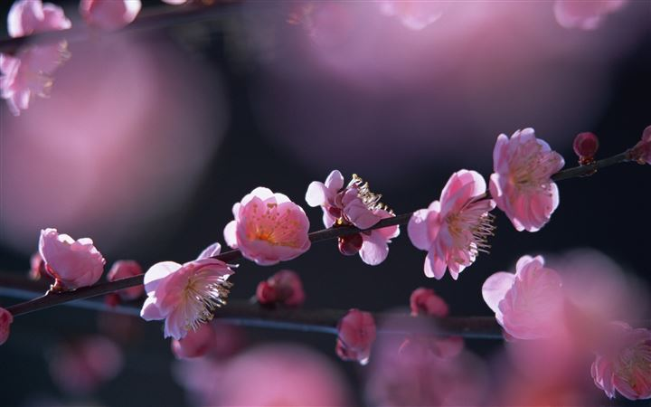 Pink Blossom Flowers All Mac wallpaper