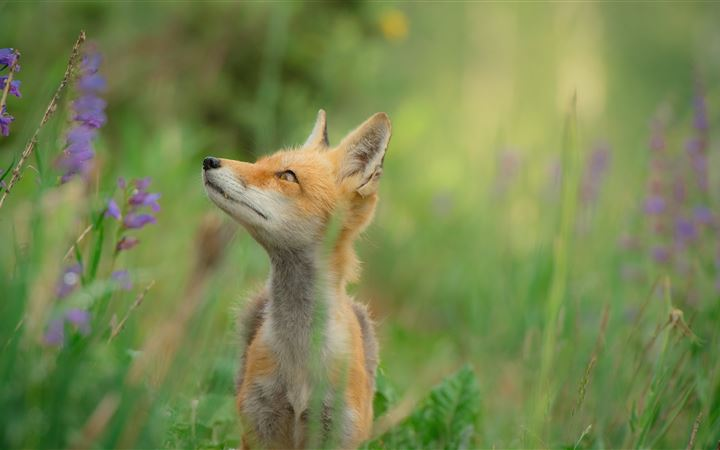 Red Fox in a Field All Mac wallpaper