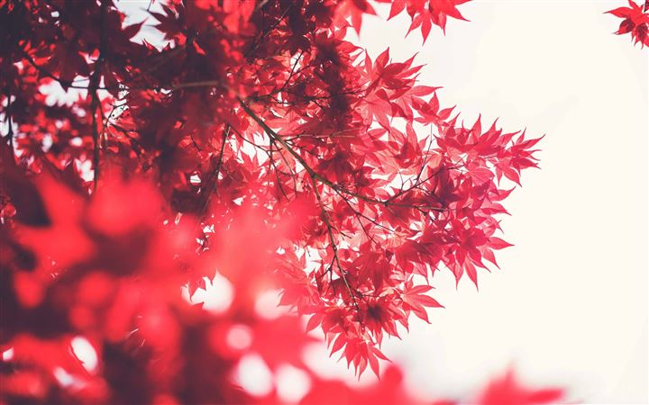 Red Japanese Maple All Mac wallpaper