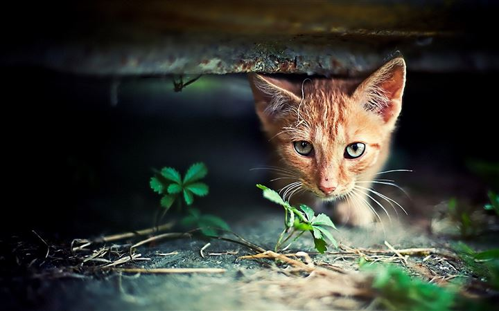 Red Kitten Hide Seek All Mac wallpaper