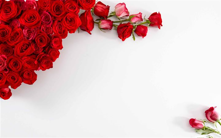 Red Roses On White Background All Mac wallpaper