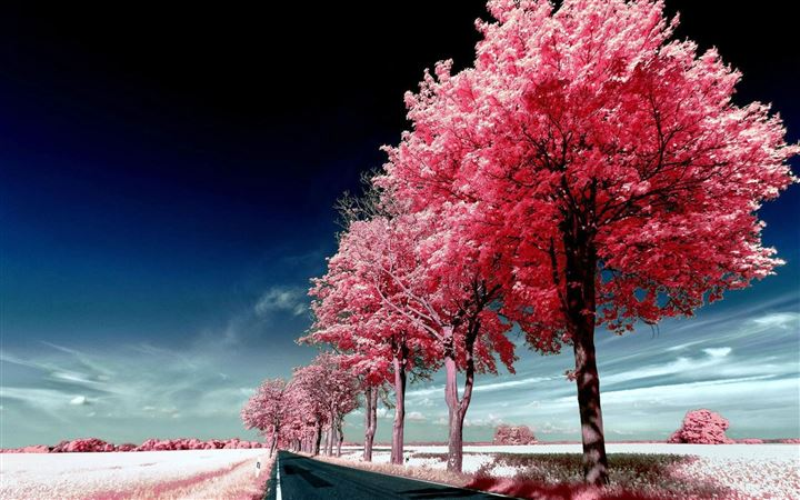 Roadside Pink Trees All Mac wallpaper