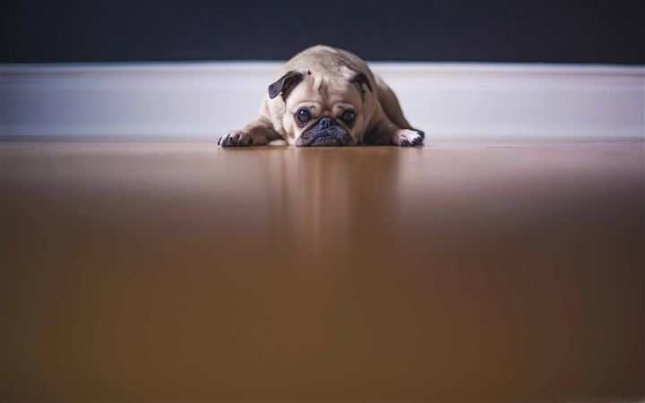 Saddest Pug Dog All Mac wallpaper