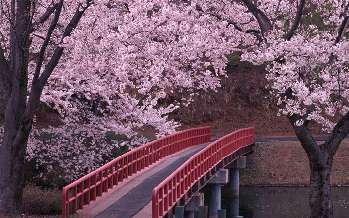 Sakura and bridge All Mac wallpaper