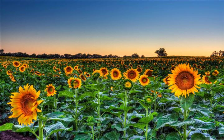Sunflower Field Sunset All Mac wallpaper