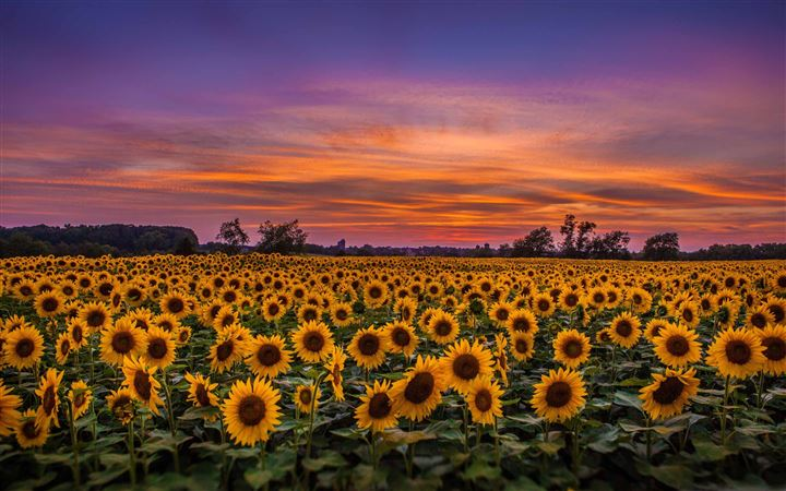 Sunflower Field All Mac wallpaper