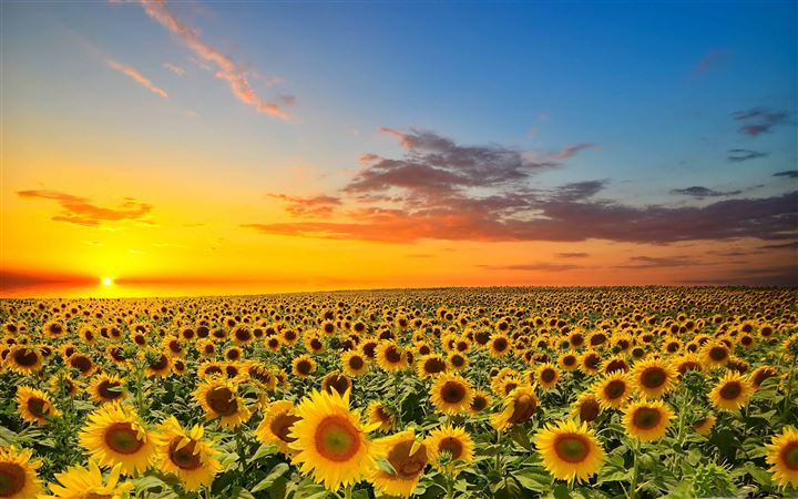 Sunset Over Sunflowers Field All Mac wallpaper