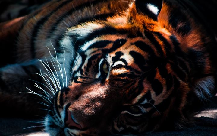 Tiger resting in the shad... All Mac wallpaper