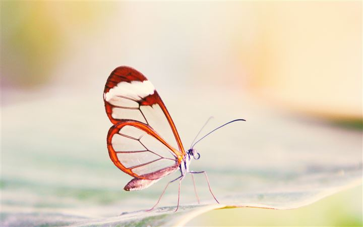 Transparent Wings Butterfly All Mac wallpaper