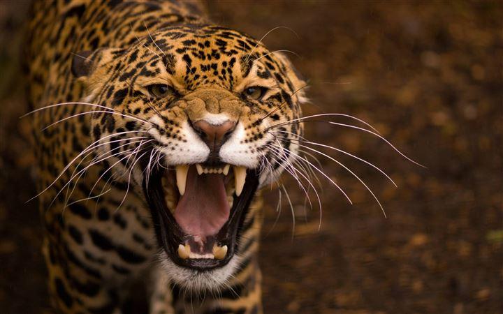 1000 Best Tiger Mac Wallpapers Free Hd Download Allmacwallpaper