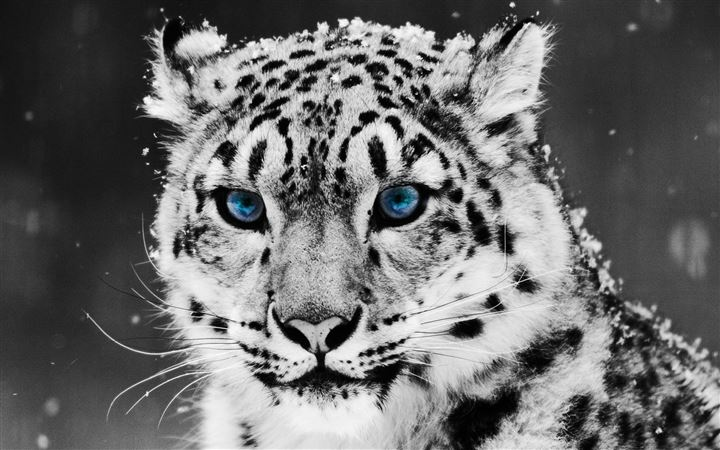 White Tiger All Mac wallpaper