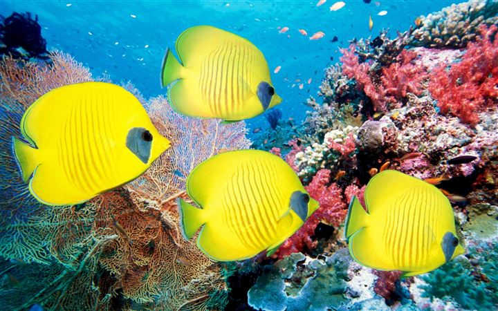 Yellow Butterfly Fish All Mac wallpaper
