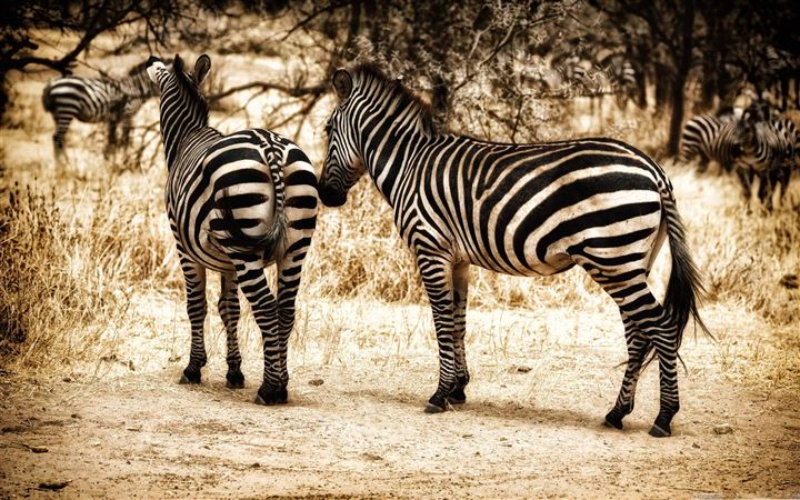 Zebra Serengeti All Mac wallpaper
