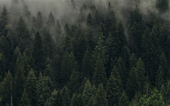aerial view of pine trees... All Mac wallpaper