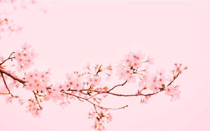 pink flowers at bloom All Mac wallpaper
