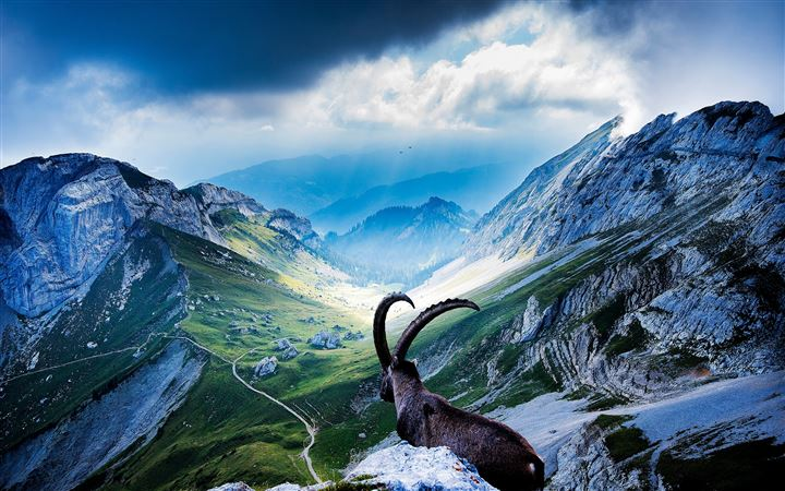 Goat At Mount Pilatus MacBook Pro wallpaper