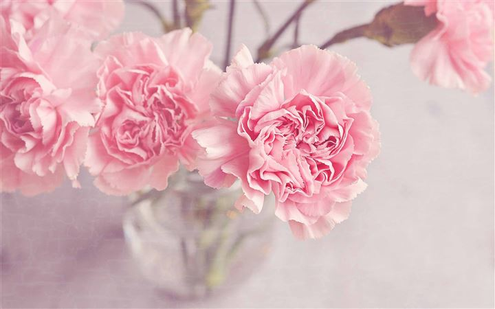 Light Pink Carnation Flowers MacBook Pro wallpaper