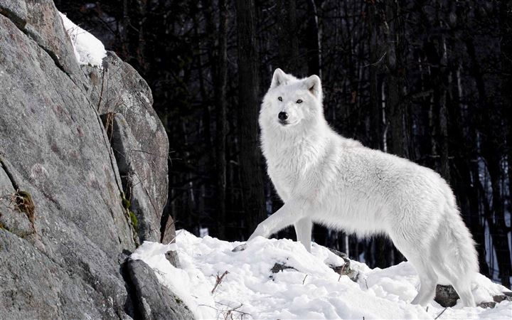 White Wolf MacBook Pro wallpaper