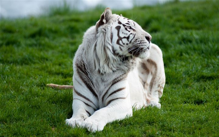 White tiger MacBook Pro wallpaper