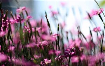 Pink Dianthus Field Mac wallpaper
