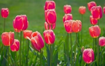 Pretty Tulips Flowers Mac wallpaper