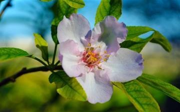 Beautiful Blossom Macro Mac wallpaper
