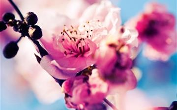 Beautiful Cherry Blossoms All Mac wallpaper