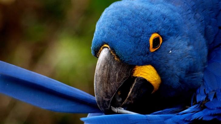 Blue Parrot  Mac Wallpaper