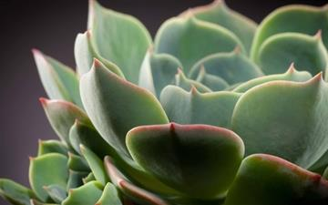 Echeveria Cactus All Mac wallpaper