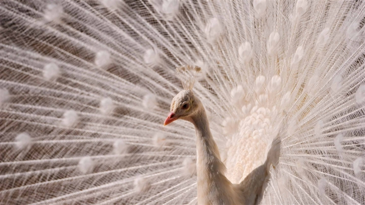 White Peacock Mac Wallpaper