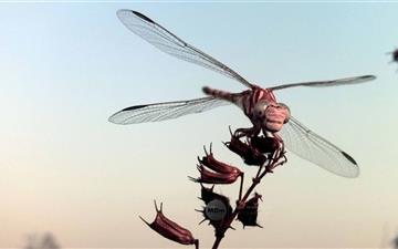 The Dragonfly Mac wallpaper