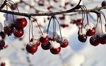 Frozen Red Berriies Winter Mac wallpaper