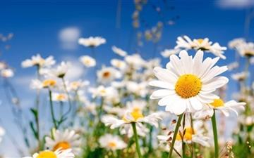 Field Flower Chamomile Mac wallpaper