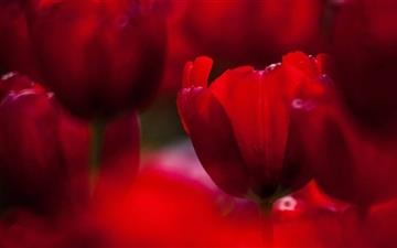 Red Tulips Mac wallpaper